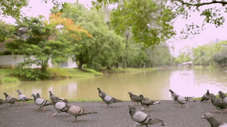 andar : Doves in public park near natural pond, Birds are walking and flying together.
