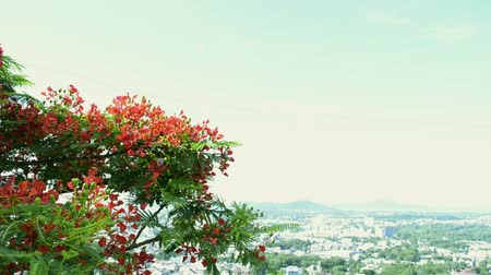 リーフス : Flame tree or Royal poinciana tree is flowering and waving with the wind, Red flower tree view to the town. 動画素材