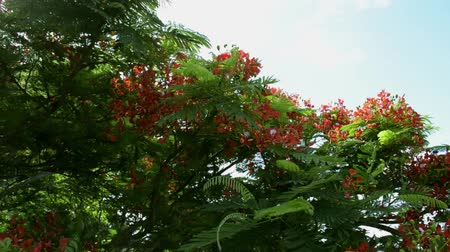 bloesemboom : Flame tree or Royal poinciana tree is flowering and waving with the wind, Red flower tree view to the town. Stockvideo