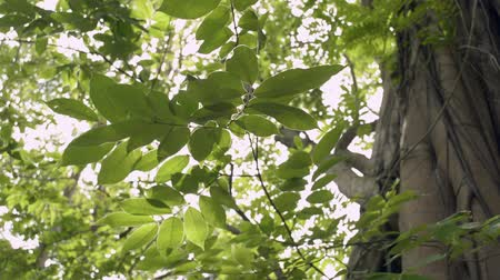 folhas : Beauty of sun shining through the green leaves of the big tree are blowing in the wind. Stock Footage