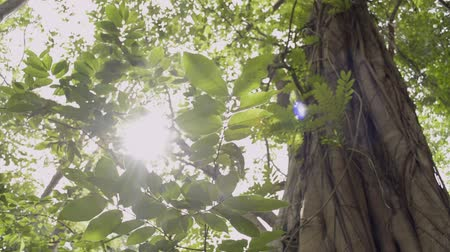 banyan : Beauty of sun shining through the green leaves of the big tree are blowing in the wind. Stock Footage