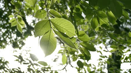 leafs : Beauty of sunshine through the green leaves of the tree blowing by the wind.