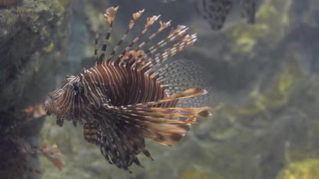 morina : Lion fish is swimming under sea water in aquarium which sometimes called Turkey fish, Fire fish and Butterfly cod.