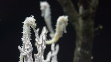 seahorse : White Thorny Seahorse (Hippocampus Histrix) are swimming under sea water in aquarium.
