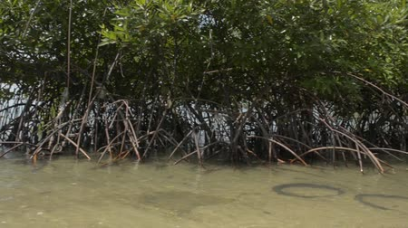 mangrove trees : Mangrove forest growing on the coast with a speed boat during summer in phuket. Stock Footage