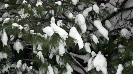 rüya gibi : Snow on Pine Trees