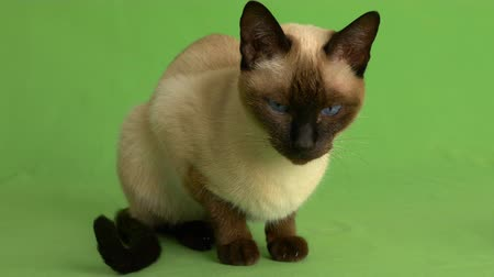 Seal point siamese cat looking around on green screen full shot