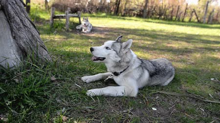 сибирский : Black and white dog, breed Siberian Husky outdoors in the park in summer