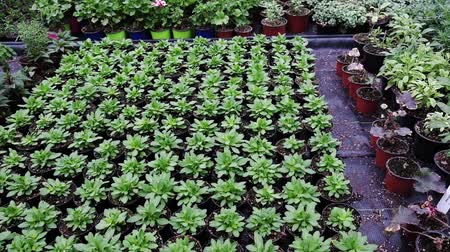 perennials : Flower nursery. Growing of plants in a greenhouse.