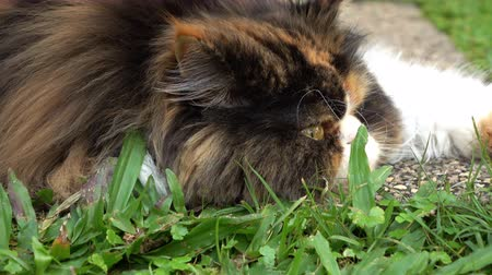 perzisch : dolly shot, persian cat fluffy pet playing in lawn grass turf of green front yard