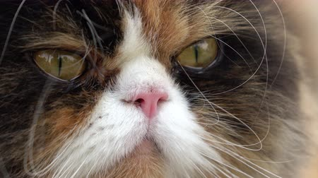 perzisch : close up eye looking of persian cat fluffy pet indoor animal