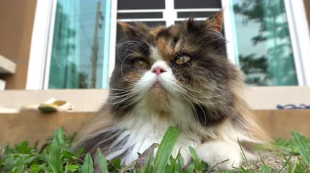 perzisch : persian cat fluffy pet playing in lawn grass turf of green front yard