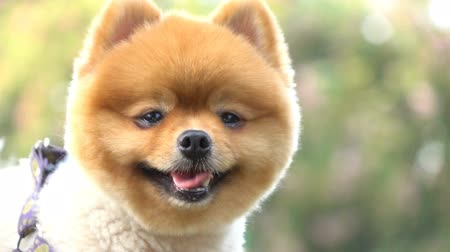barátságos : slow motion, happy pomeranian dog cute pet smiling in outdoor garden have fun in springtime
