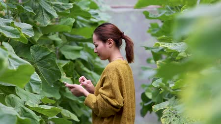 autumn leaves : beautiful woman use the smartphone checking butternut squash in the plantation greenhouse Stock Footage