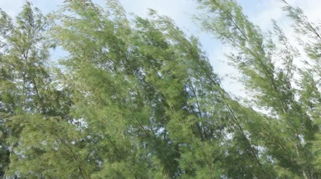 pinho : Group of Pines Moving by wind