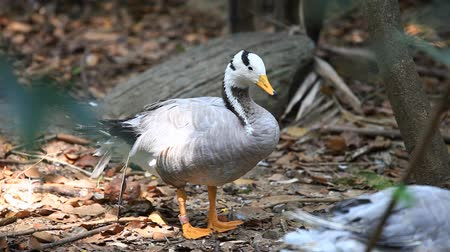 indicus : Bar-headed goose (Anser indicus) in a zoo Stock Footage