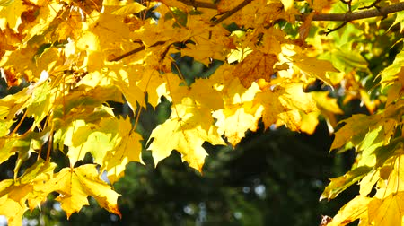 red maple : Yellow maple leaf in autumn Stock Footage
