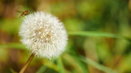 dmuchawiec : Close up of dandelion blowing by wind