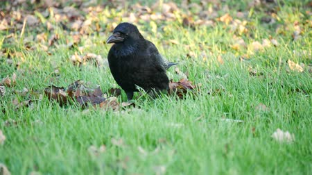 corvo : A crow walking on the grass and finding food Vídeos