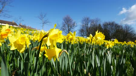narciso : Lovely yellow daffodil flowers blooming in the spring in Aberdeen, Scotland UK