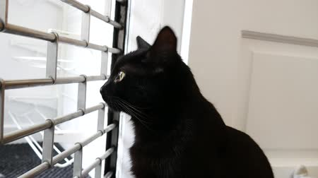 mamífero : Black moggie cat in the window watching outside due to curiosity