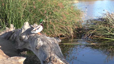 kaczka : Male Mallard Duck sitting on log at pond in reeds