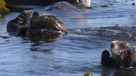 fischotter : Kalifornische Seeotter, die in Kelp Morro Bay Calif spielen Videos