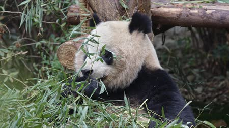 gigante : Giant panda eating bamboo