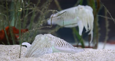 kalmar : The Common Cuttlefish in clean water closeup footage