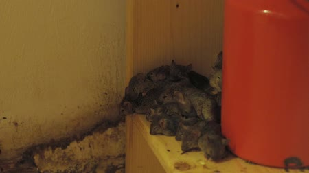 rodent control : Large group of mice in the kitchen