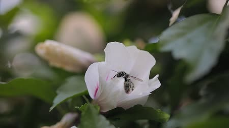 folha : Bees flying to blossoming flower Stock Footage