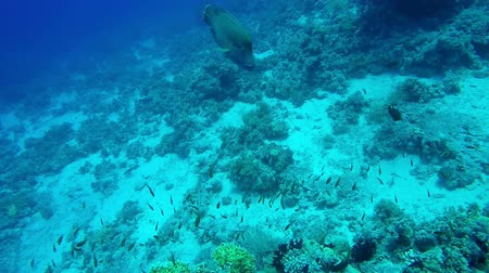 fuzileiros navais : Coral reef with large napoleon fish closeup footage Vídeos