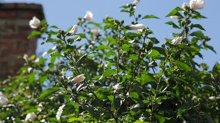 folha : Flowers on the bush closeup