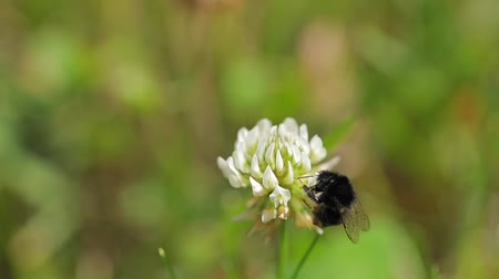 asa : Bees flying to blossoming flower Stock Footage