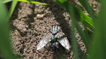 детали : Large fly on the ground macro footage