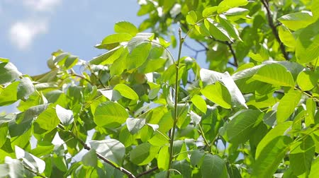 folha : Footage of some fresh green leaves on a tree blown by the wind Stock Footage