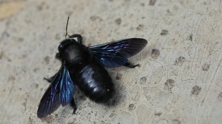 детали : Large black bee on the ground