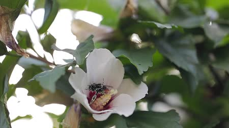 детали : Bees flying to blossoming flower Стоковые видеозаписи