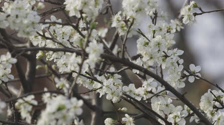 ogrodnictwo : White cherry flowers blossoming