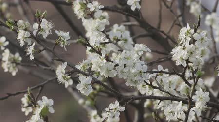 folha : White cherry flowers blossoming