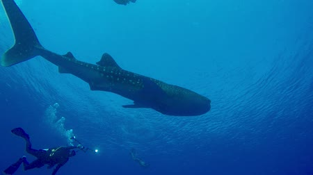 mergulhador : Giant whale shark in the sea near the surface