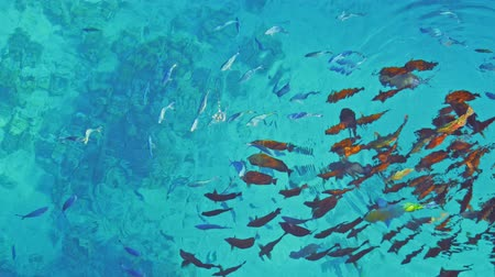 Large group of fish feeding on food in the water Vídeos