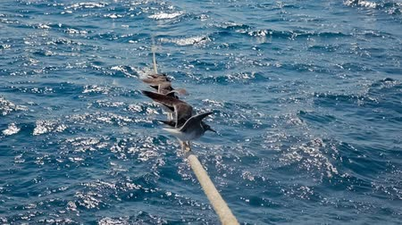 wings : Seagulls lined up on the rope slow motion footage Stock Footage
