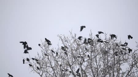 hejno : Group of crows on the tree at winter Dostupné videozáznamy