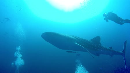 descobrir : Giant whale shark in the sea near the surface