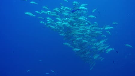 mergulhador : Fish underwater in the Red Sea Stock Footage