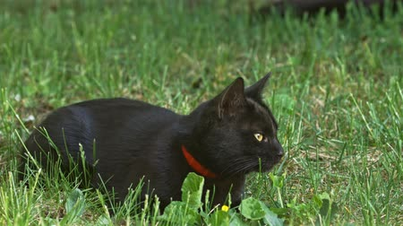 любопытство : Cute black cat in the summer Стоковые видеозаписи