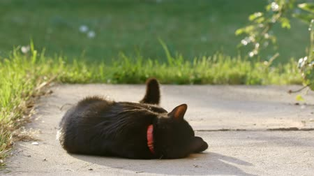 kotki : Cute black cat in the summer Wideo