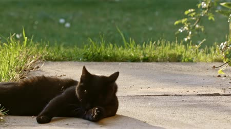 воротник : Cute black cat in the summer Стоковые видеозаписи