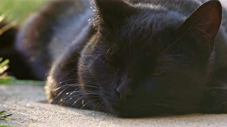 ronronar : Cute black cat in the summer Stock Footage